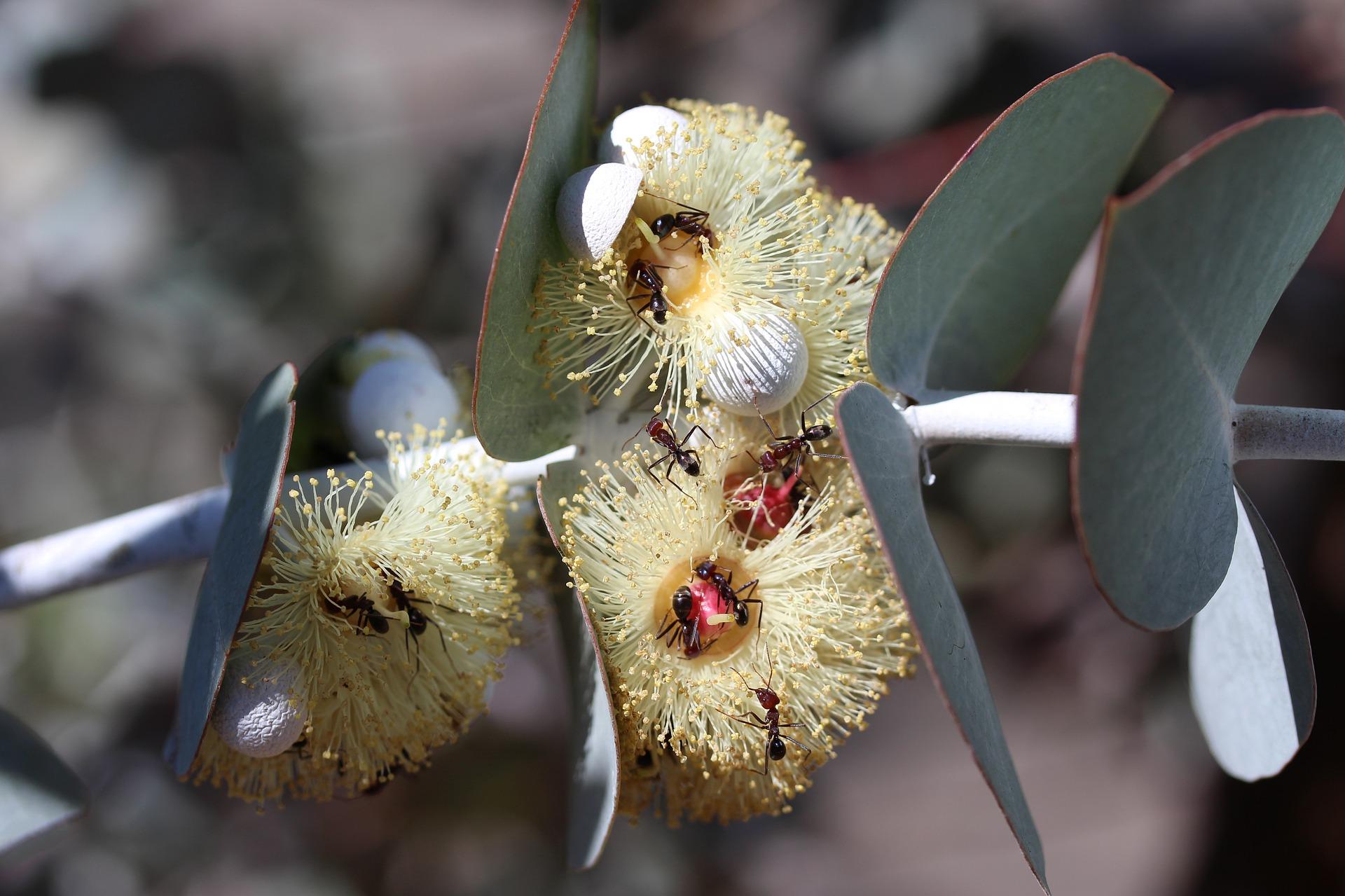 plante medicinale plamanii