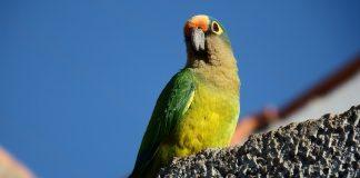 hipotiroidism papagali