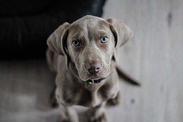 cauze parvovirus canin